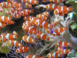 Cute little baby clownfish