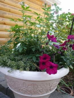 Cleome prefers regular water and well drained soil.