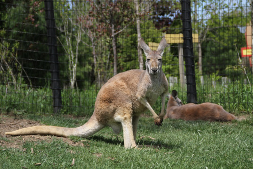 Red kangaroo at the Walkabout Exhibit at the Columbus Zoo.