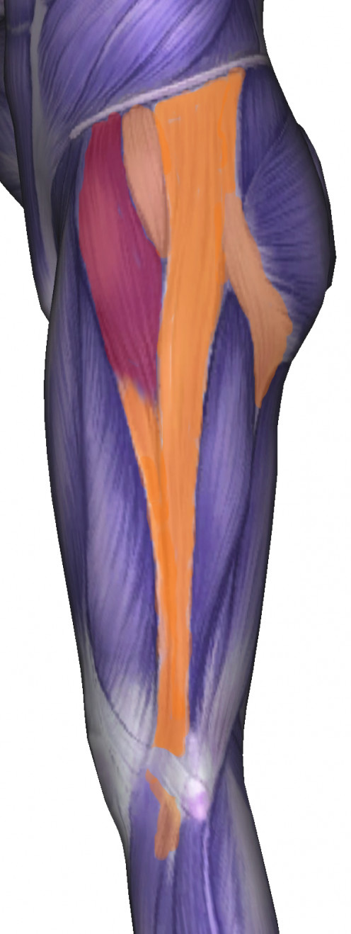 The orange structure is the iliotibial band.