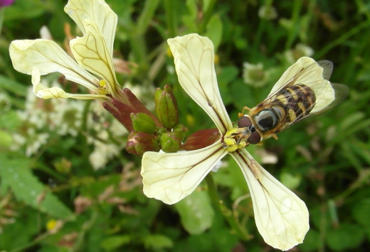 Slender hoverfly - Eupeodes luniger