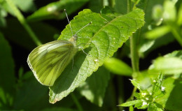 Green veined white butterfly at Salthill