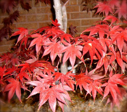 Japanese Maple turns from dark Madder to more brilliant reds.