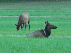 Elk at Oconaluftee Visitor Center