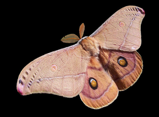 An Emperor Gum Moth in Flight