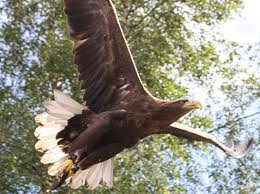 Kielder Bird of Prey Centre, watch a display of consummate elegance in flight