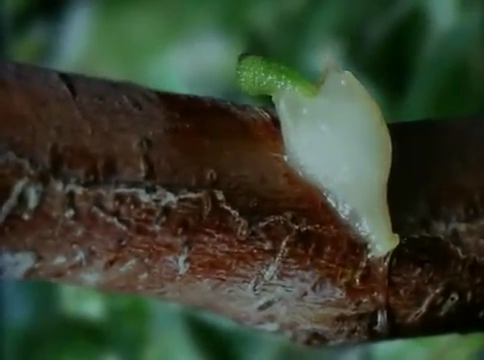 Green colored mistletoe hypercotyl emerging from a mistletoe seed attached to the bark of host tree.