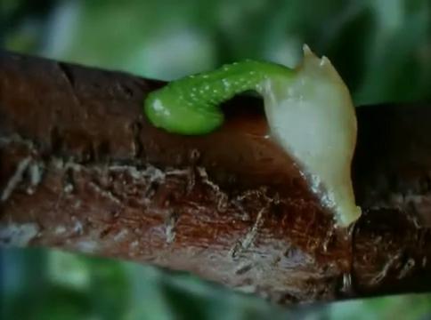 mistletoe hypercotyl attaching to bark of host tree