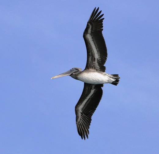 Ever present Pelicans