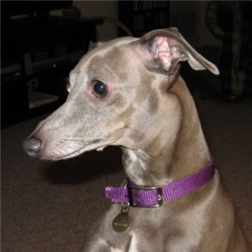 Luna, the looney Italian Greyhound