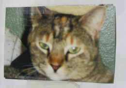 Picture of our neighbors lost kitty... I hope they find her soon, she's so pretty!
