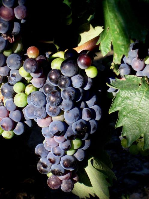 Grenacha Grapes