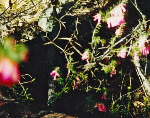 Red Heath Hiding in a Cleft of Grampians Rock