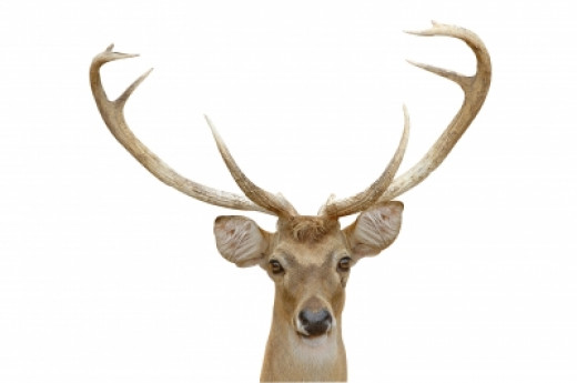 An Eld's deer with mature antlers.