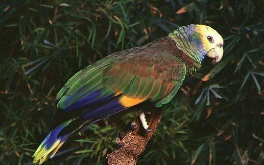 St Vincent Parrot Amazona Guildingii