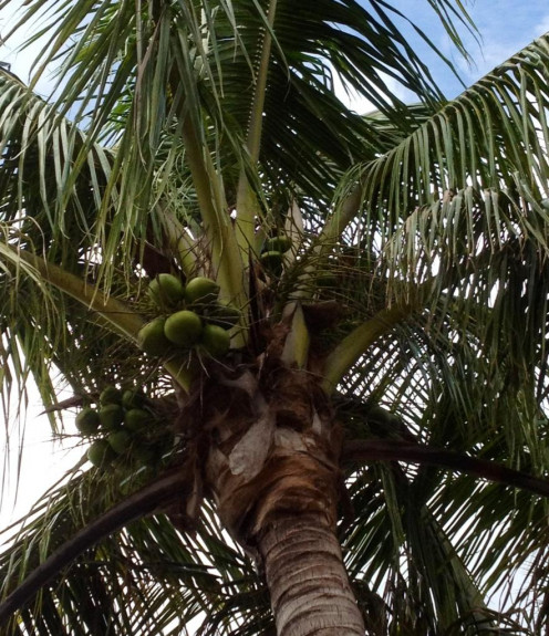We have three coconut trees in our front yard.  Here is a view of the crown of the tree from underneath looking upwards.  Where is that squirrel?