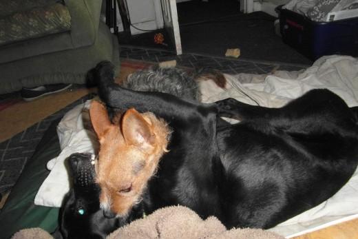Dog wrestling photo with flash