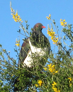 The Kereru or New Zealand pigeon a native fruit eating bird.