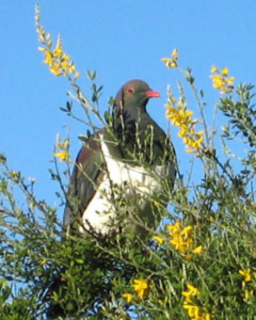The Kereru or New Zealand pigeon a native fruit eating bird.