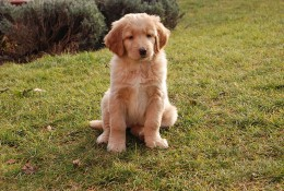 Even very young puppies will display coprophagia if their diet is lacking or if they are anxious/distressed.