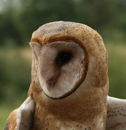 Barn Owls are absolutely beautiful birds!