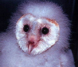 Six week old orphan barn owl raised by Barney and Claire.