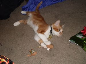Zidane playing with his first Christmas present: 2 catnip mousies.