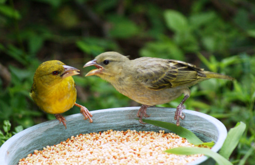 Weaver feeding chick that is much bigger than the mother