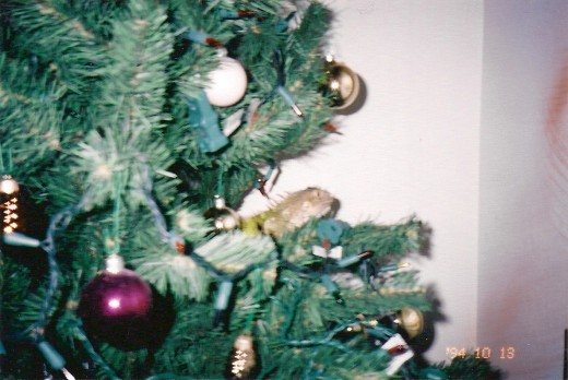 Gwana, the iguana -- when he was little -- hanging out in our Christmas tree.