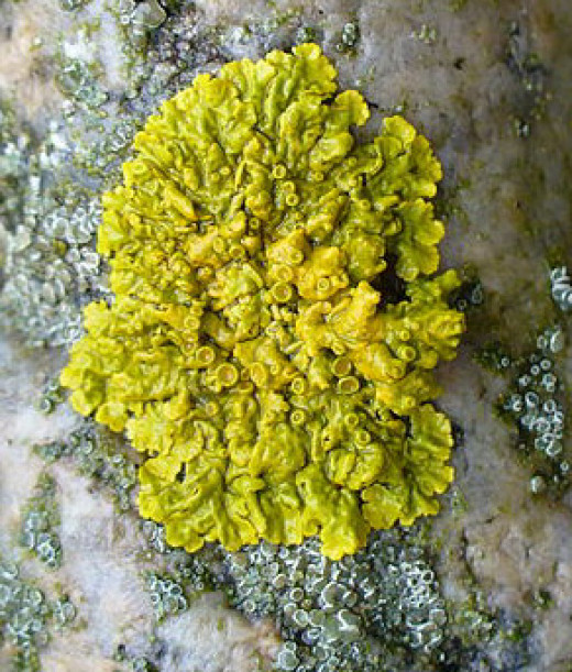 Example of a lichen plant