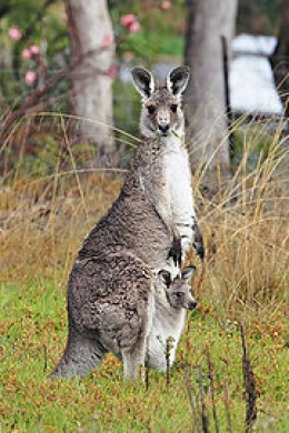 "Kangaroo with its Joey nestled comfortable in the pouch.....  Credit:""Fir0002/Flagstaffotos"""