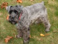 How to Raise Healthy Miniature Schnauzers
