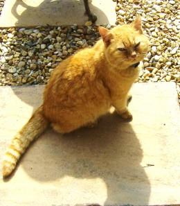 Tiny ginger tom cat.