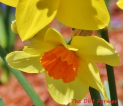 Also called narcissus, daffodils are pretty spring bloomers that naturally repel pests.