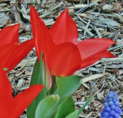 Dwarf tulips planted with grape hyacinths, a striking combination.