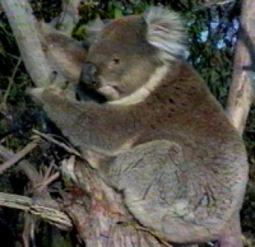 Cuddly Koala in a tree