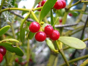 Fruits of red berry mistletoe  Viscum Cruciatum