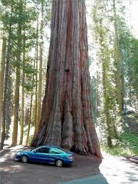 Sequoia (redwood) tree