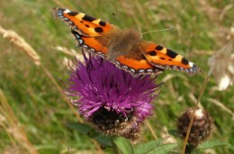 Small tortoiseshell on knapweed