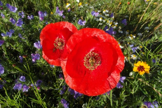 Poppies and hoverflies