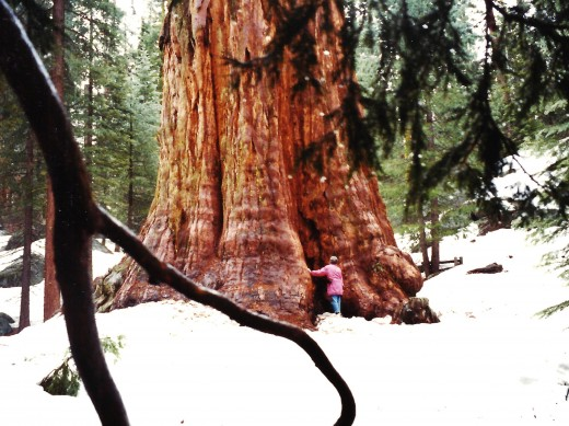 Giant sequoia tree as seen in Sequoia & Kings Canyon National Parks