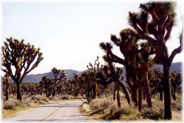 Road through grove of Joshua Trees in the Joshua Tree National Park in California.