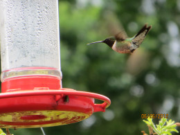 Hummingbird in flight...notice blurred background