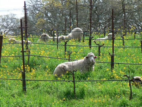 Lake Hennessey, Napa Ca God's little lambs