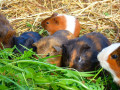 Are Guinea Pigs the Right Pet for You: Six Questions You Should Ask Yourself Before Getting a Guinea Pig