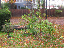 Shrubbery that was destroyed during the storm.