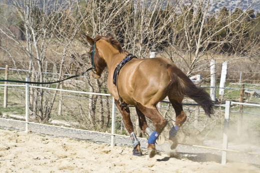 Lunging is good for horse training and as part of an exercise program.