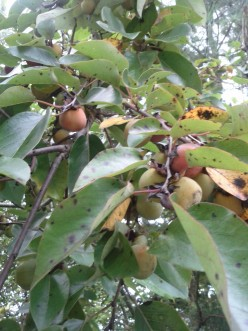 Waiting patiently for persimmons to ripen.