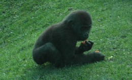 2 year old gorilla at Blackpool Zoo