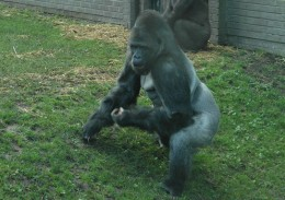 Silverback gorilla at Blackpool zoo